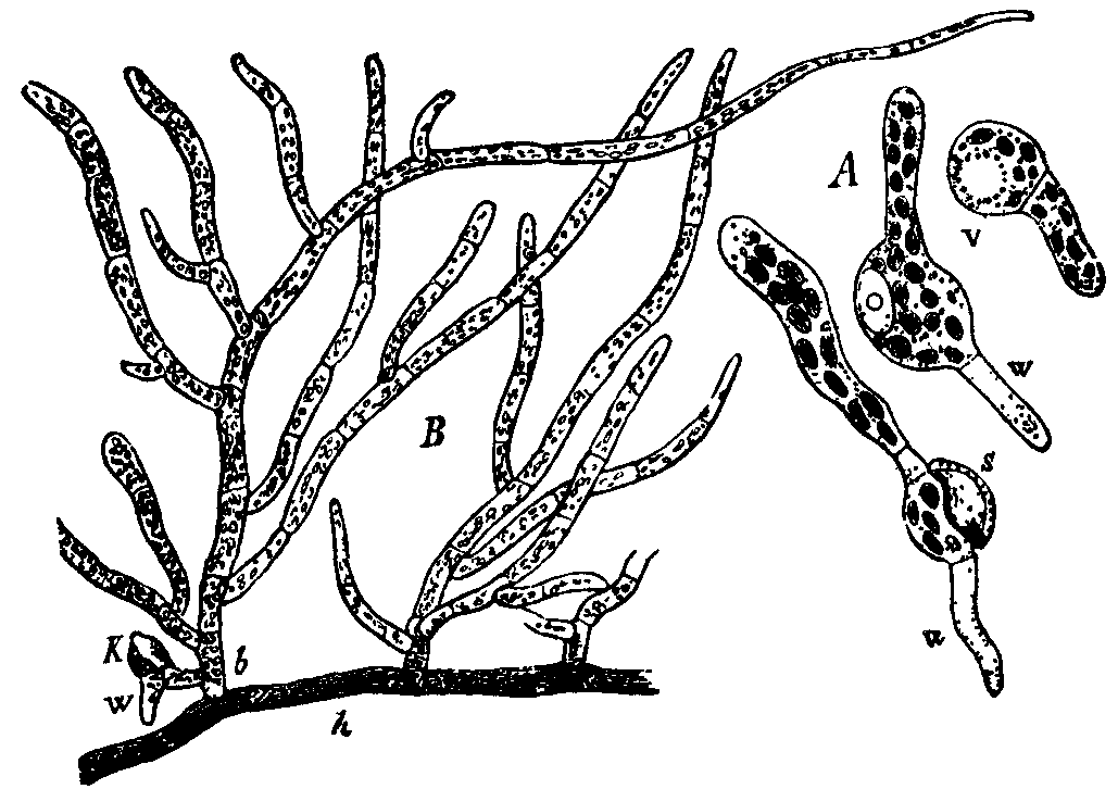 File Bryophyta 12 Png