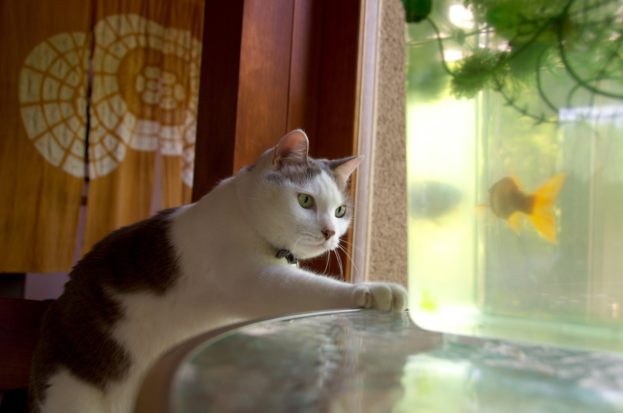 Cat with goldfish.jpg