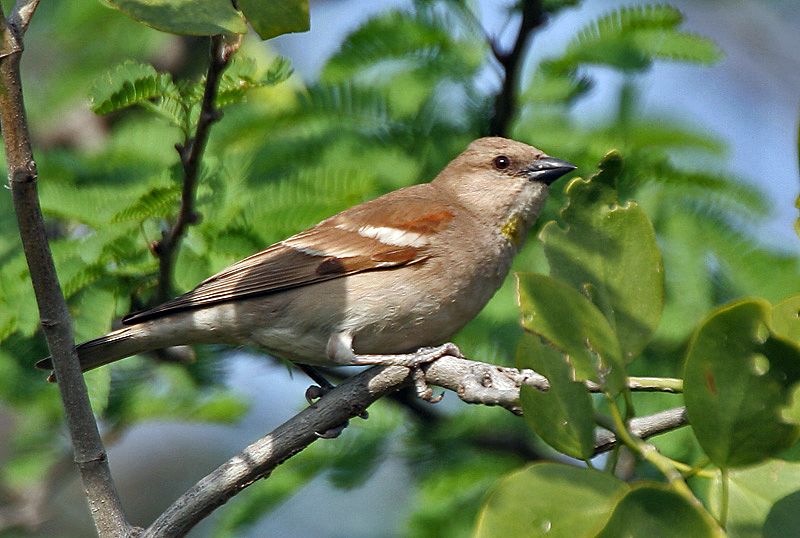 File:Chestnut-shouldered Petronia (Petronia xanthocollis) at Bharatpur I IMG 5262.jpg