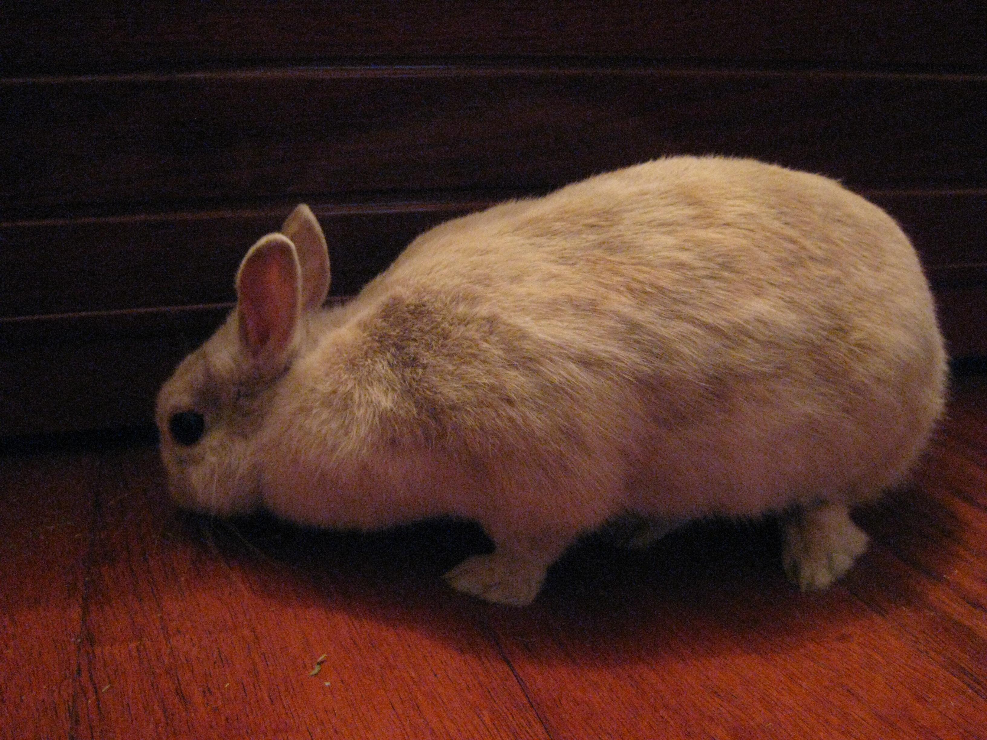 A beige Netherland dwarf rabbit.