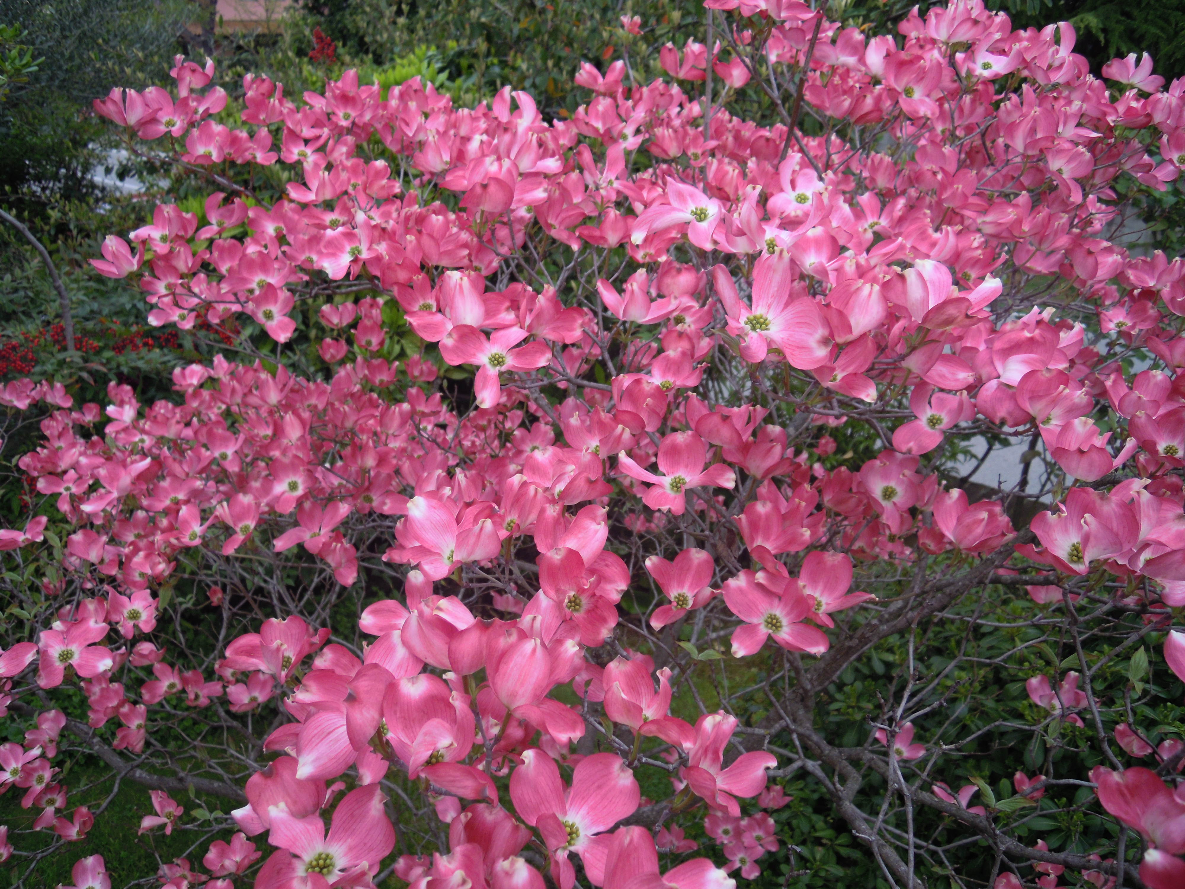 file cornus florida rubra in elmagos garden in udine jpg. Black Bedroom Furniture Sets. Home Design Ideas