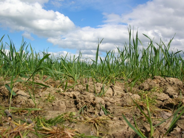 File:Crops in dry ground - geograph.org.uk - 431716.jpg