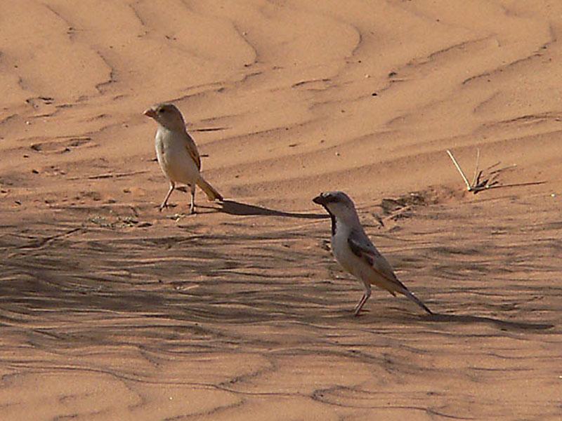 https://upload.wikimedia.org/wikipedia/commons/b/b3/Desert_sparrow_pair.jpg