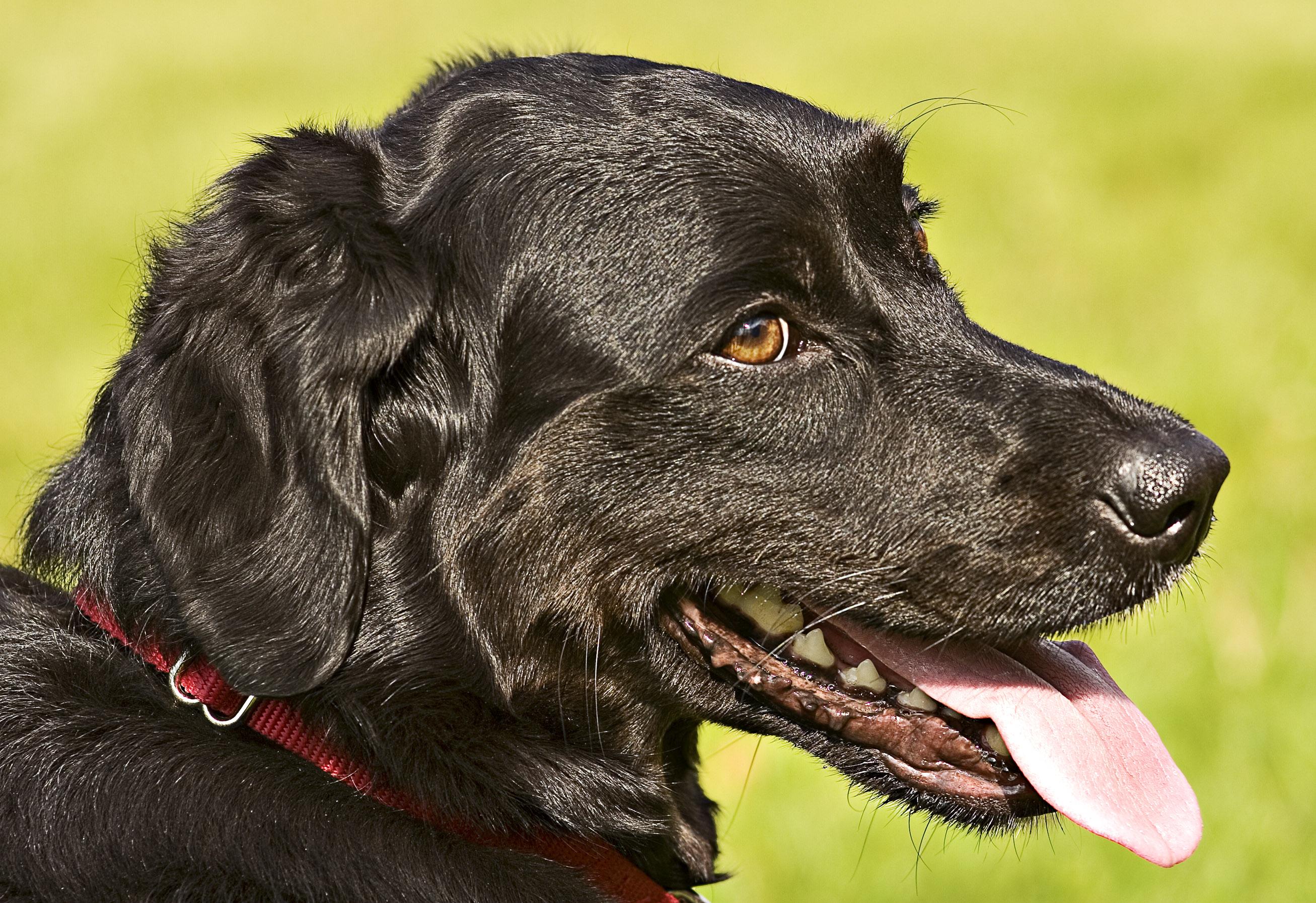 Image Result For Flat Dog