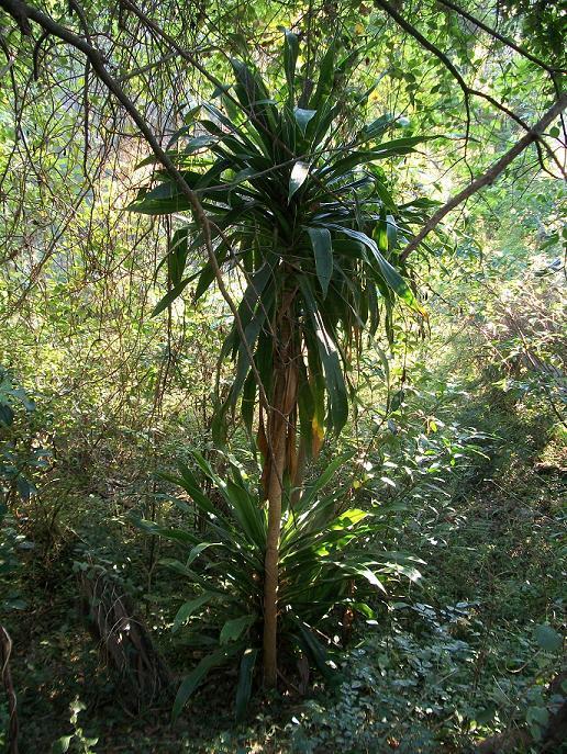 Dracaena plant  Wikipedia