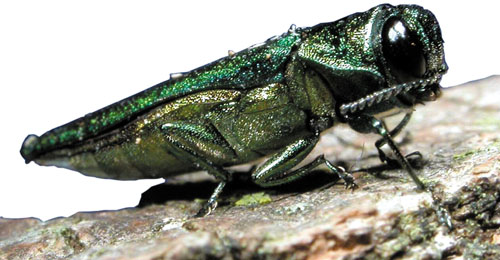 The Threat of the Emerald Ash Borer is Coming for Ash Trees This Summer