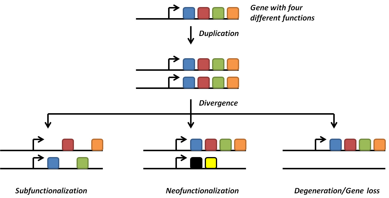 Evolutionary fate of duplicate genes