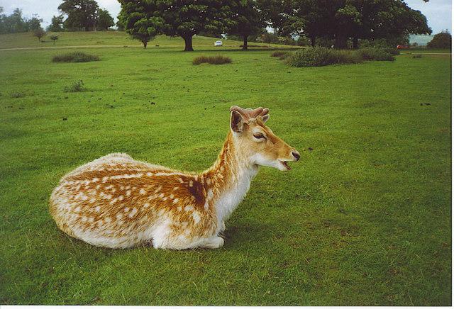 Fallow Deer, Knole Park. - geograph.org.uk - 172982