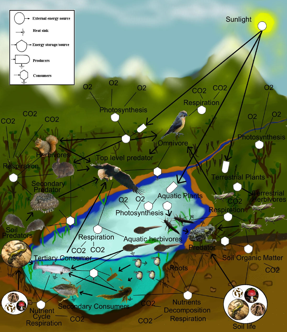 Pond Ecosystem Diagram http://agi.seaford.k12.de.us/sites/LFSdigital/units/Science%20Unit%20Topics/Ecosystems%20part%201.aspx