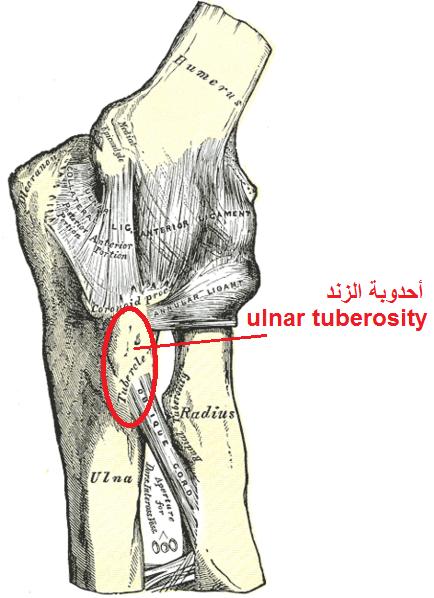 Tuberosity of the ulna - Wikipedia