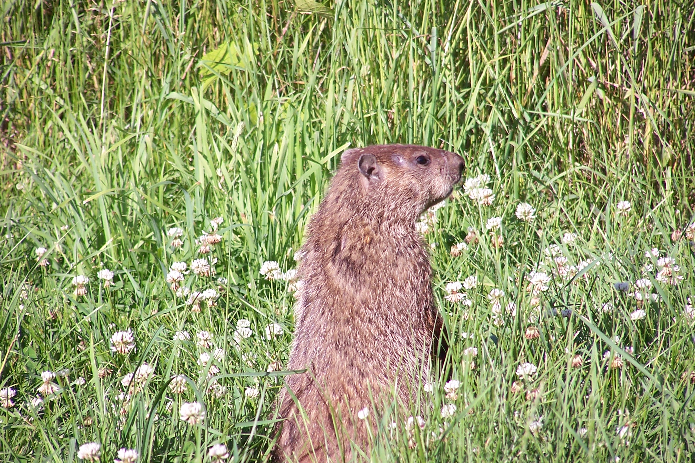 file groundhog standing1 jpg wikimedia commons