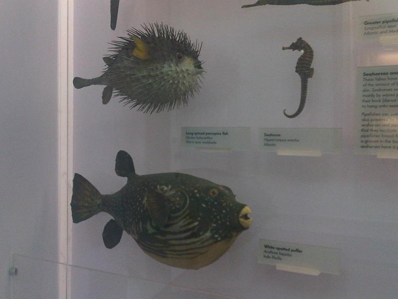 File:Ha - Diodon holocanthus, Arothron hispidus and Hippocampus erectus.jpg