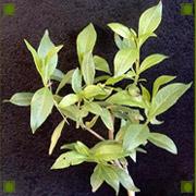 Henna plant.jpg