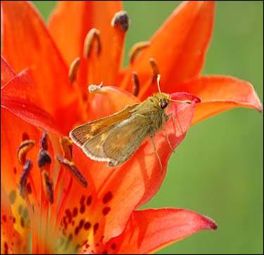 Hesperia dacotae 2.jpg