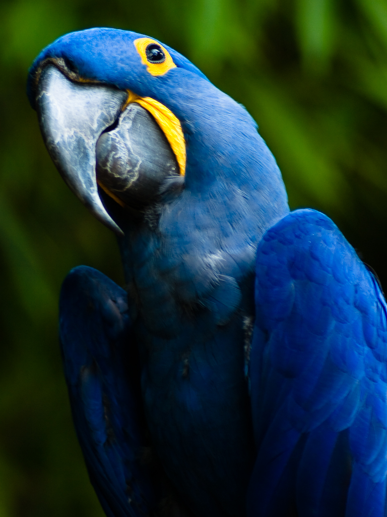 File Hyacinth Macaw Jpg Wikimedia Commons