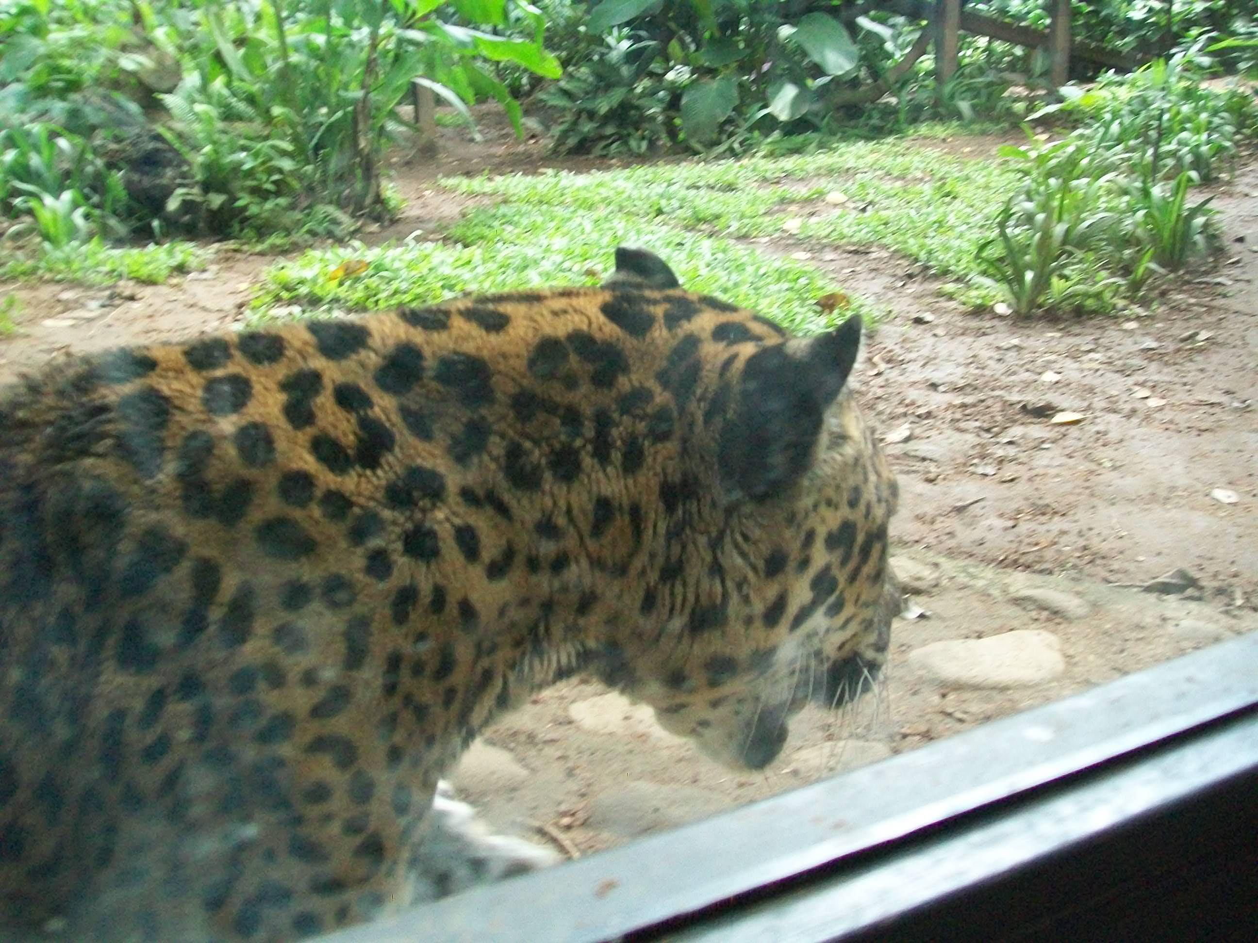 file:jaguar en zoo simon bolivar, san jose, costa rica