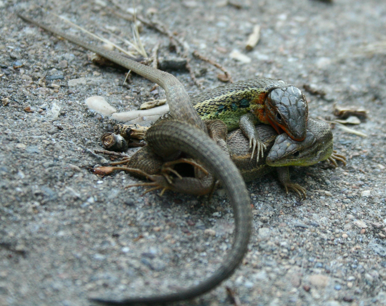 File lagartos apare ndose jpg wikimedia commons - Imagenes de animales apareandose ...