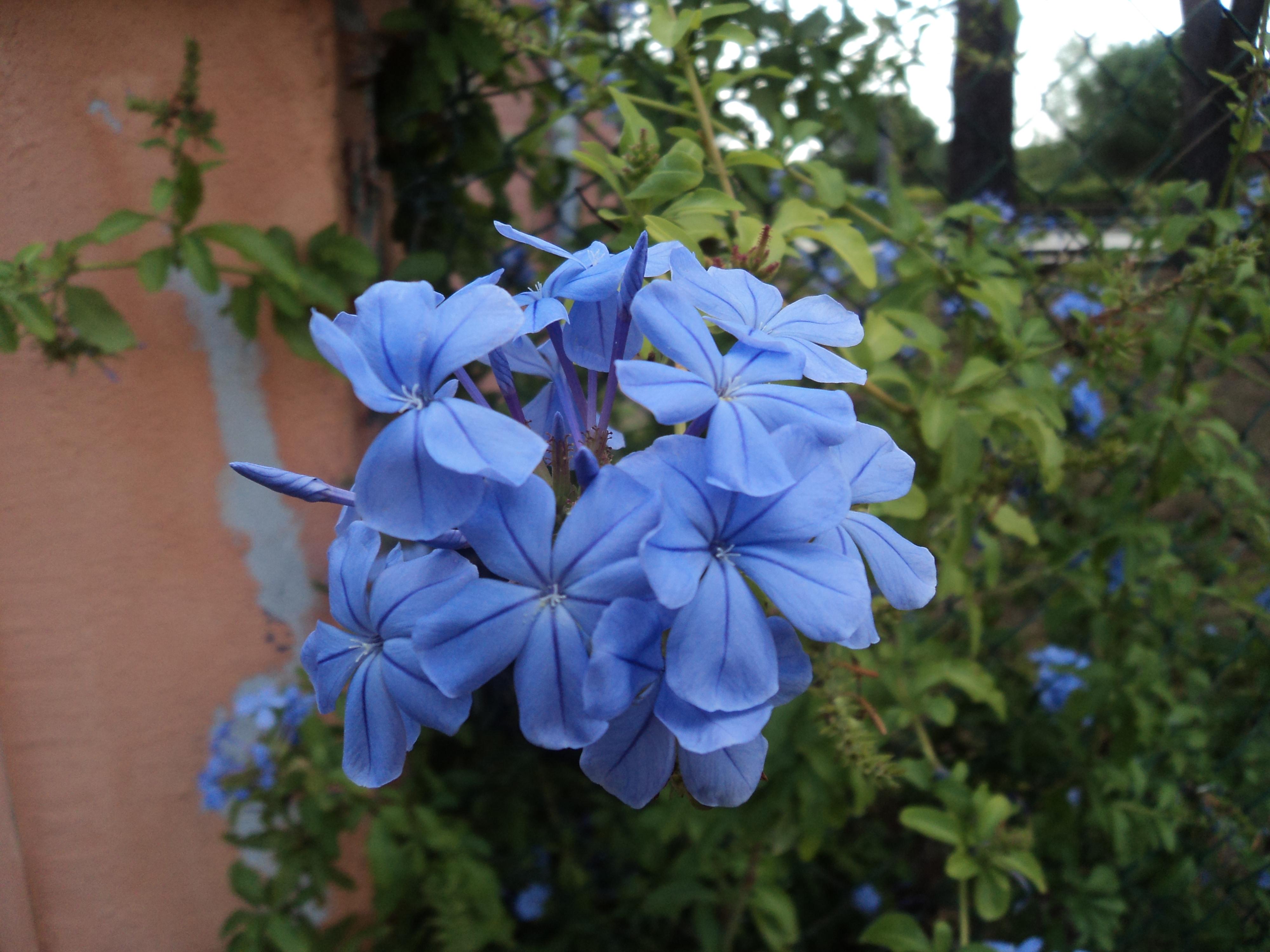 Filelight blue flowers in romeg wikimedia commons filelight blue flowers in romeg izmirmasajfo