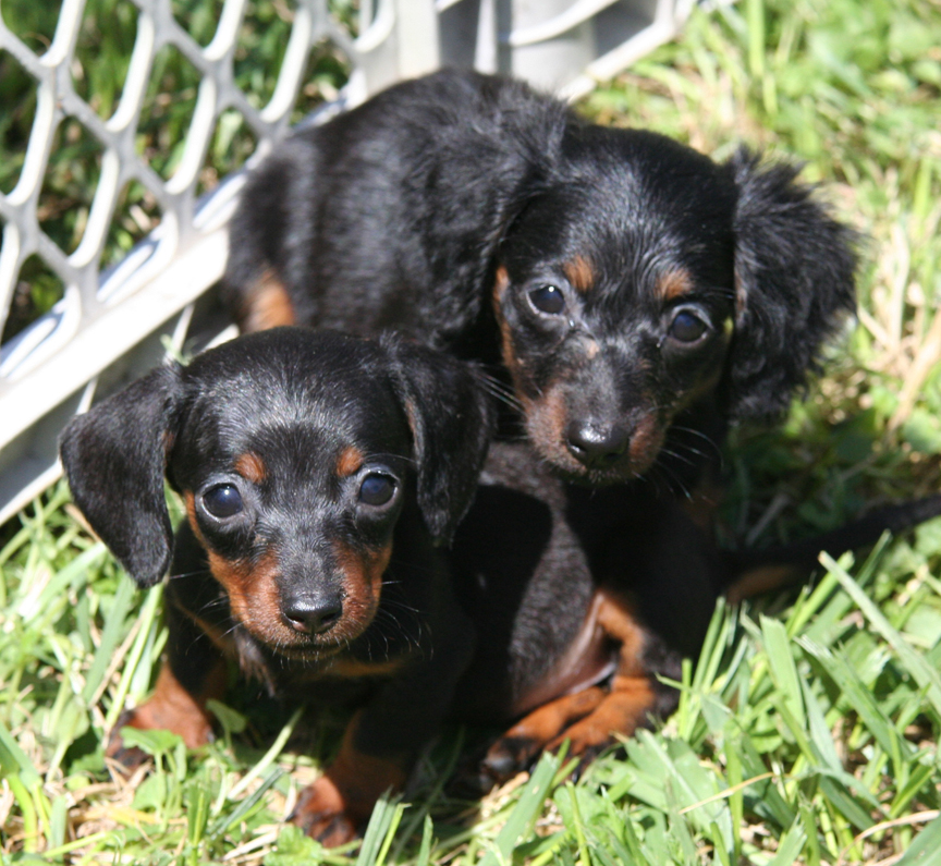 Description Longhaired Dachshund puppies.jpg