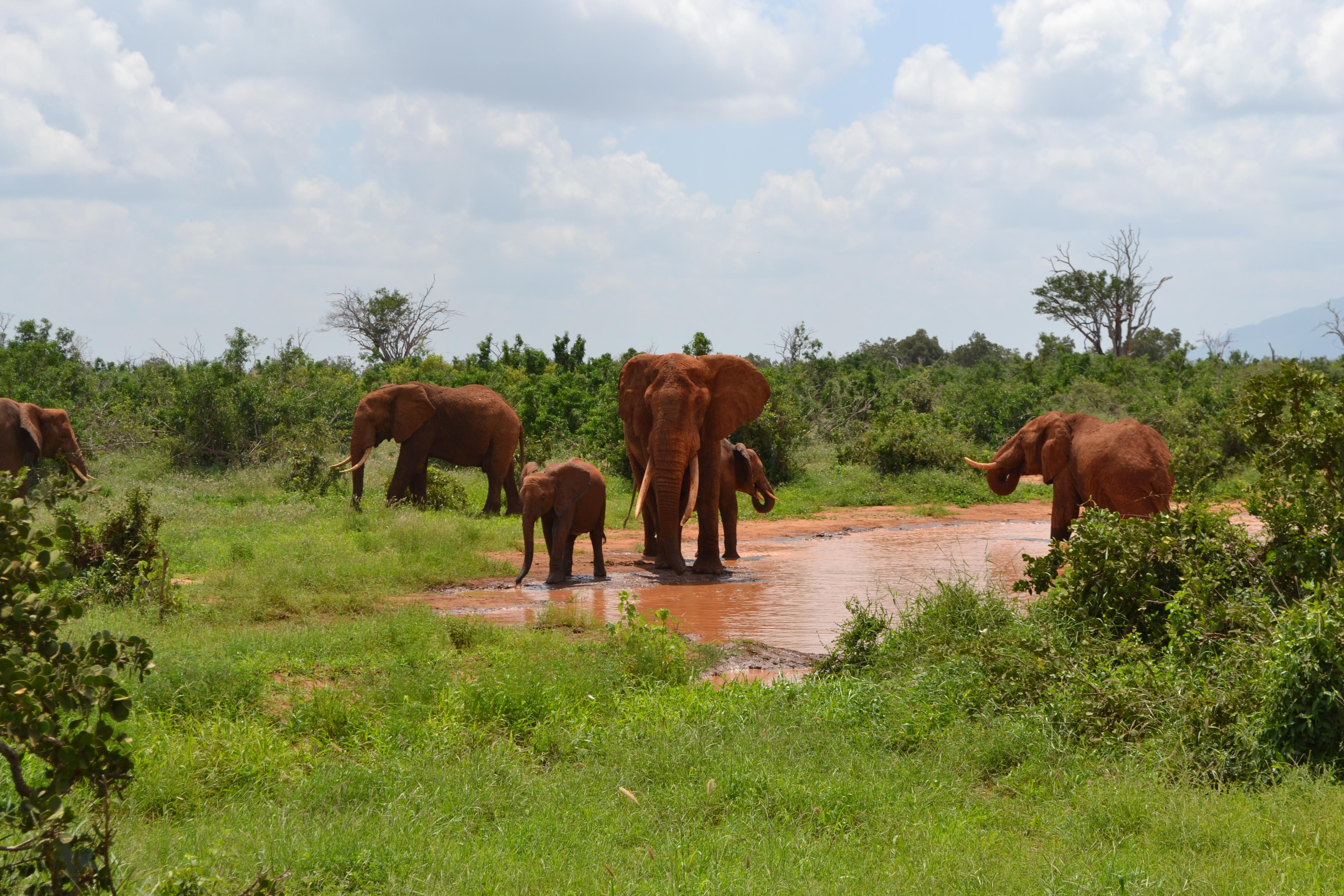Stádo slonů v Národním parku Tsavo