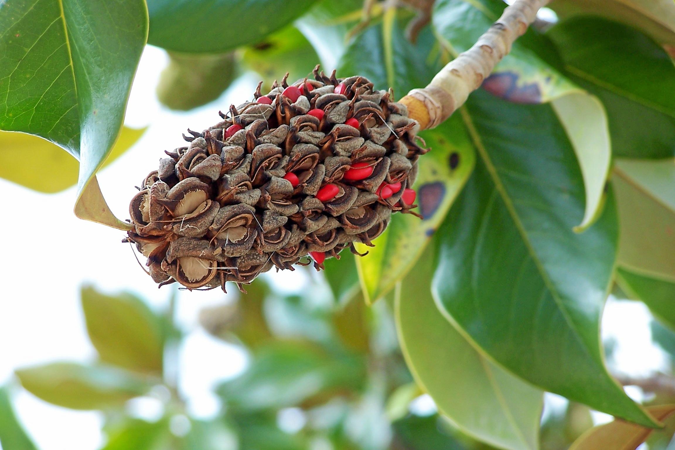 File magnolia grandiflora bw wikimedia commons - Magnolia grandiflora ...