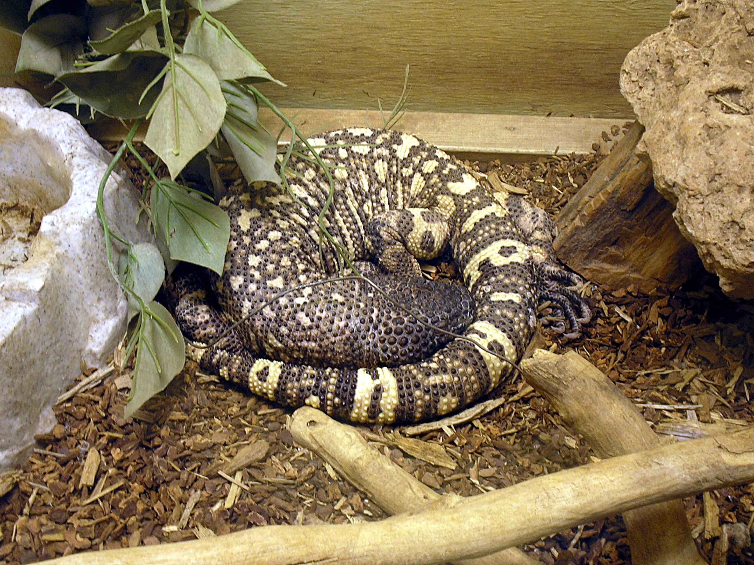 File Mexican Beaded Lizard At Las Vegas Zoo Jpg Wikimedia Commons