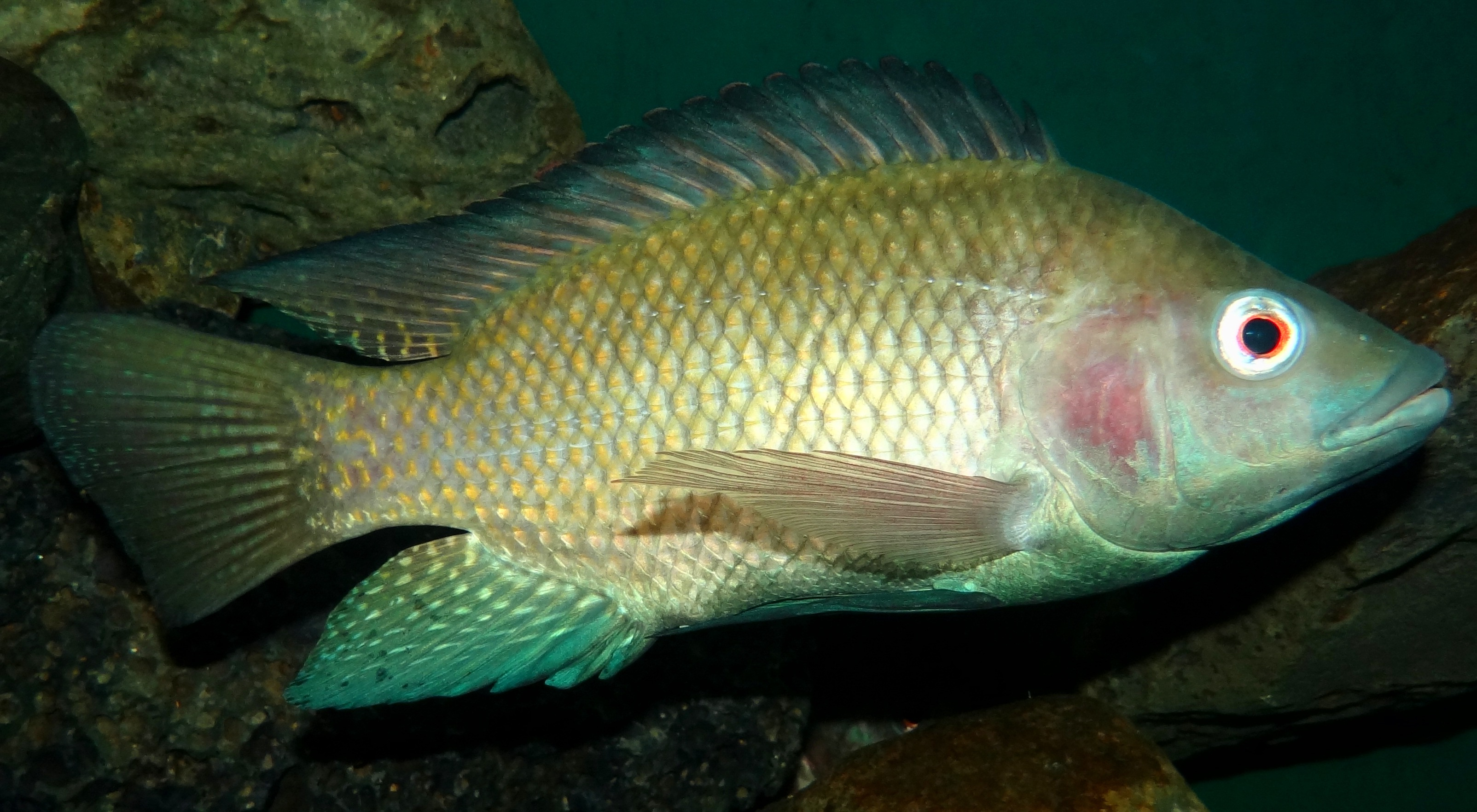Tilapia wikiwand for Is tilapia fish good for you