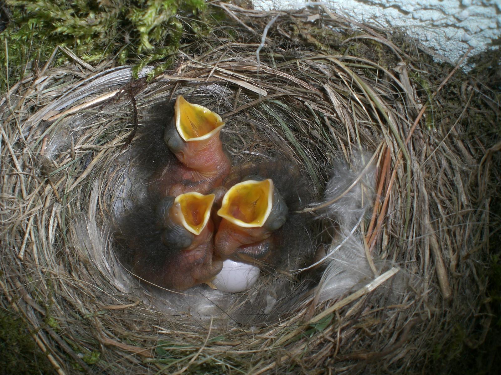 Птенцы воробья в гнезде фото