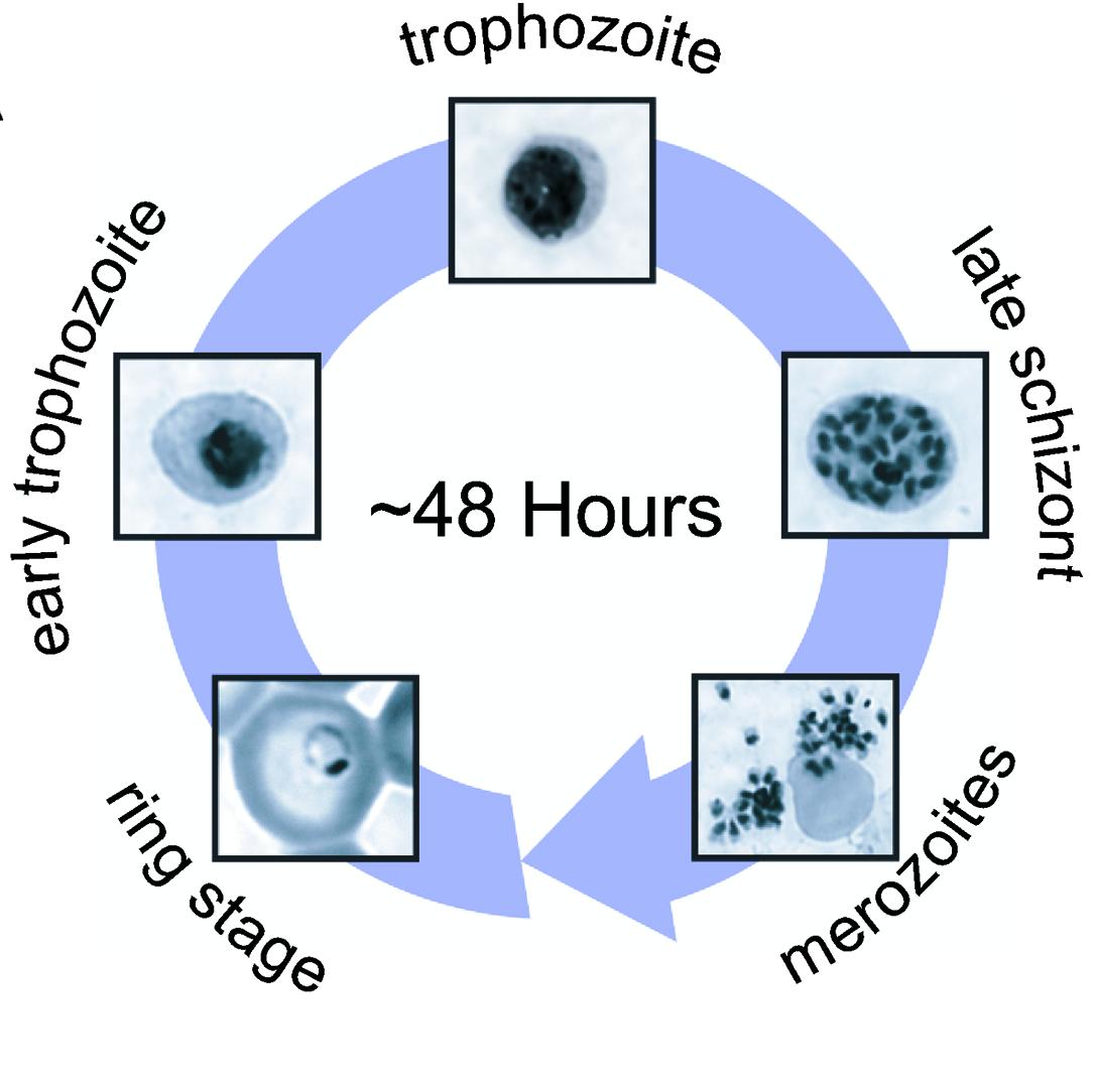 Risultati immagini per plasmodium falciparum