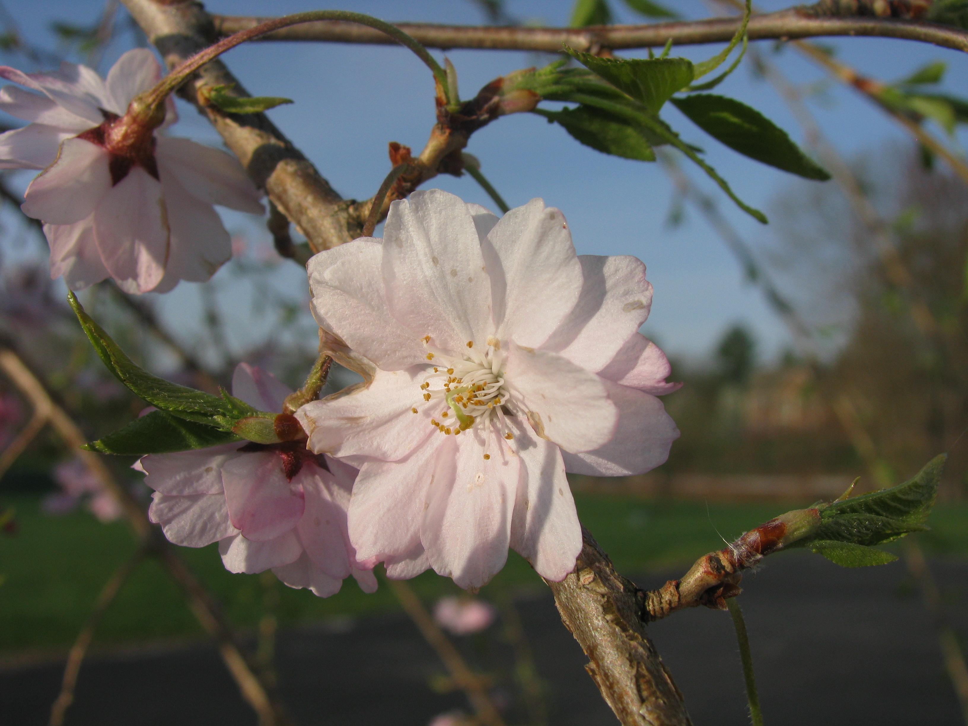 Prunus Subhirtella Pendula Wikipedia