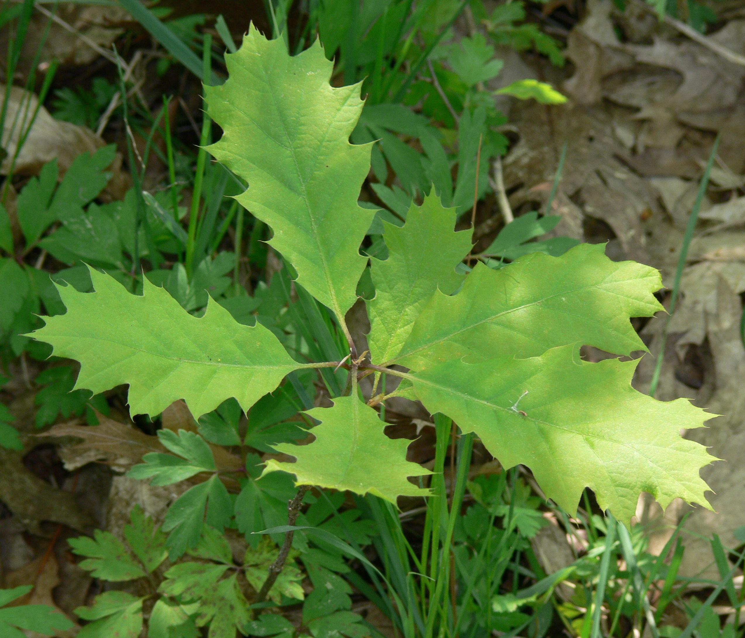 Description Quercus rubra IP0905004 jpgQuercus Rubra
