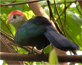 Red-Crested Tauraco