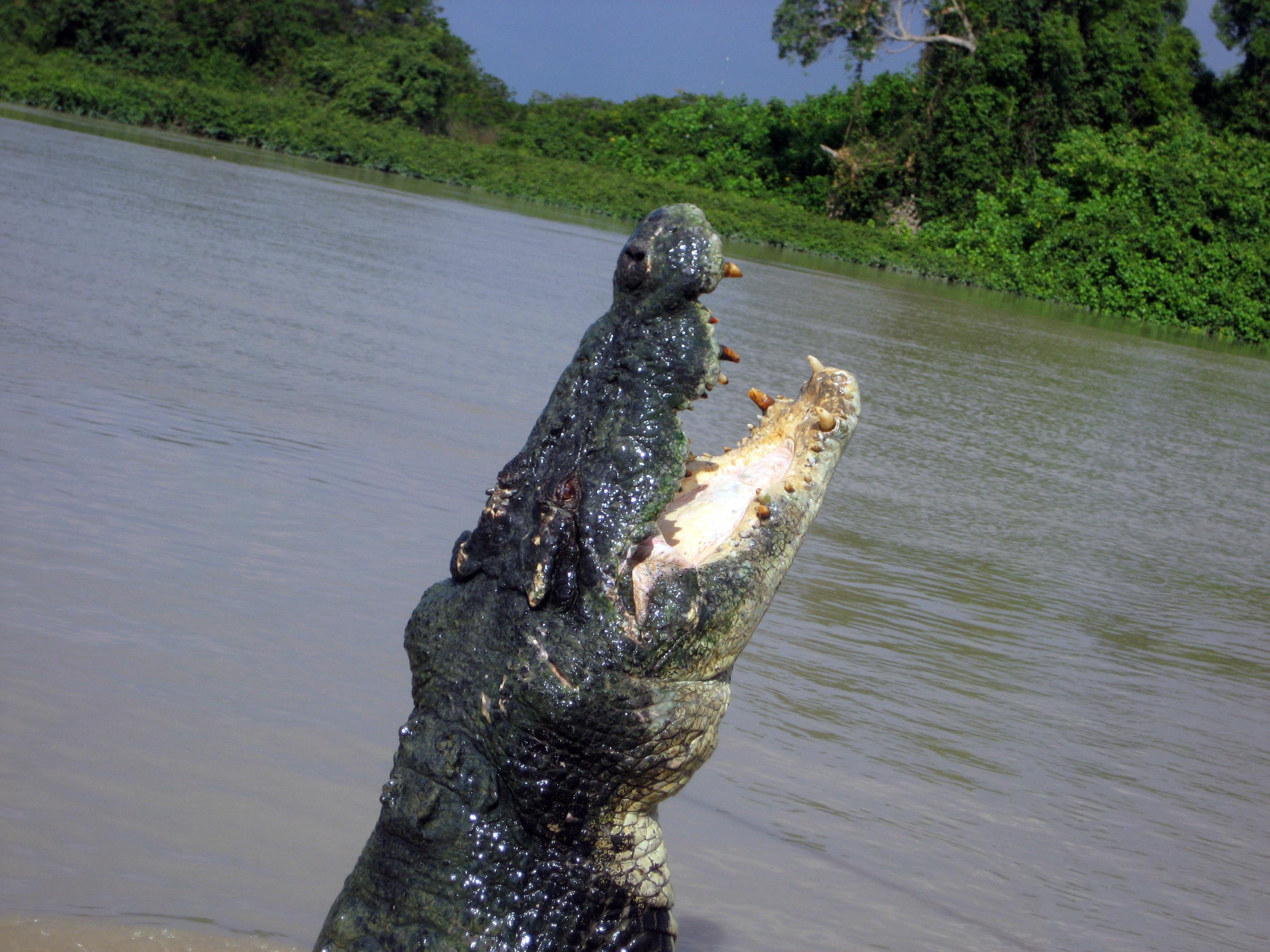 Saltwater Crocodile (Crocodylus porosus) (8851846180).jpg