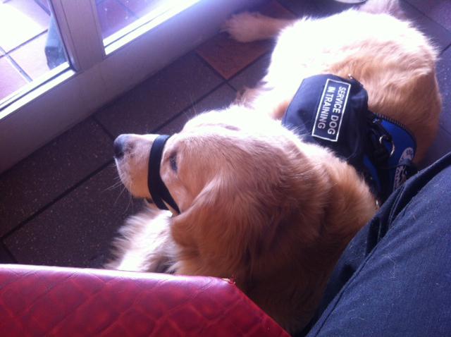 service dog at rest