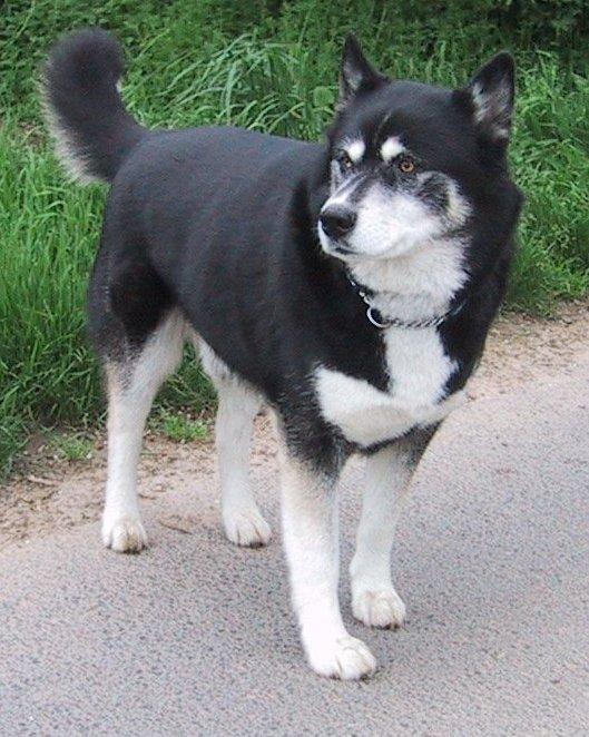 Pitsky Dog Breed