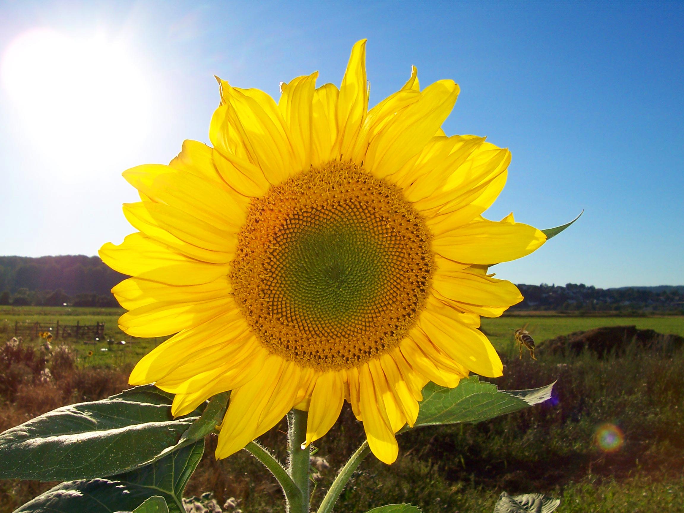 File:Sonnenblume.jpg - Wikimedia Commons