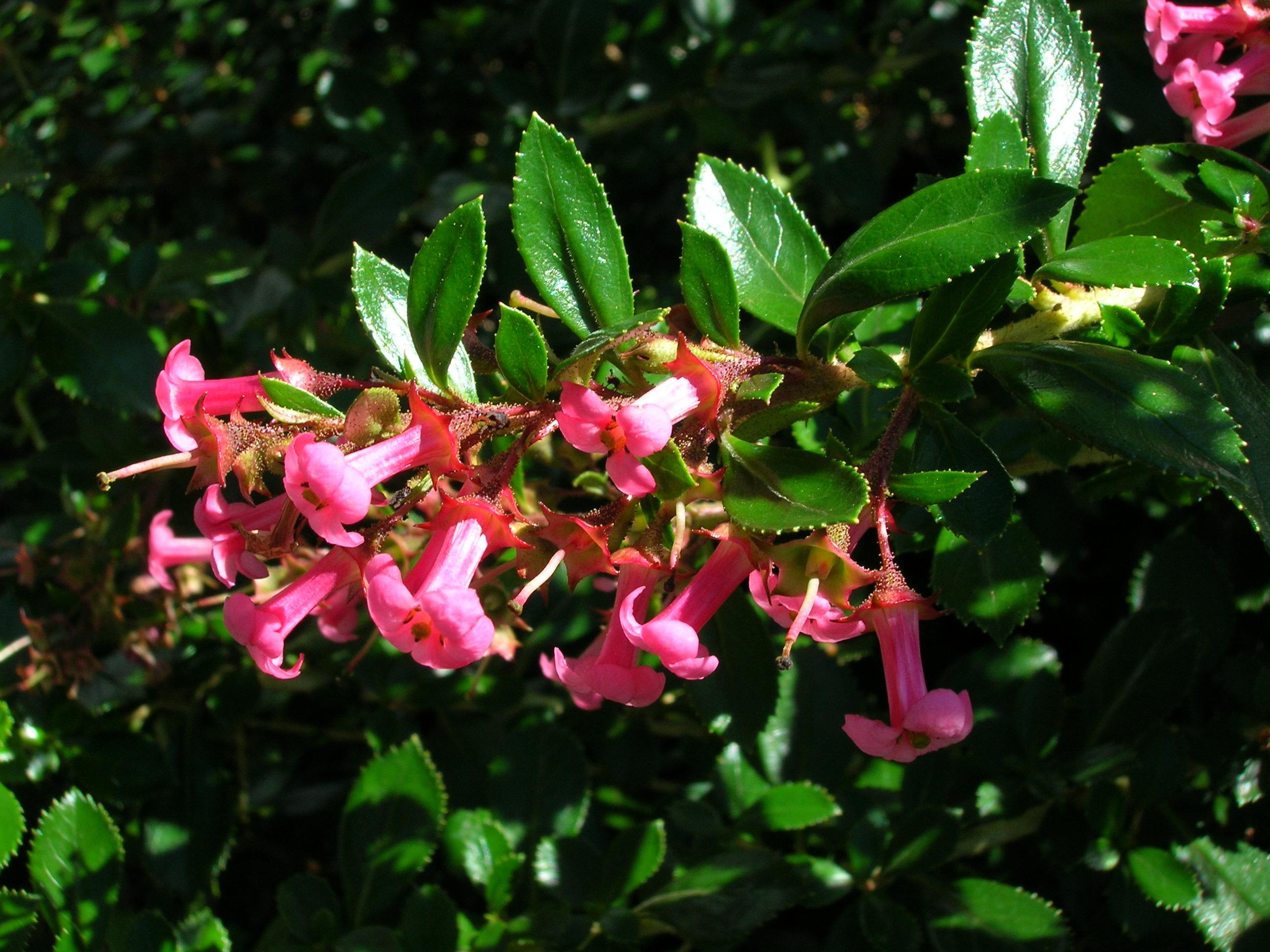 fleurs de l'escallonia