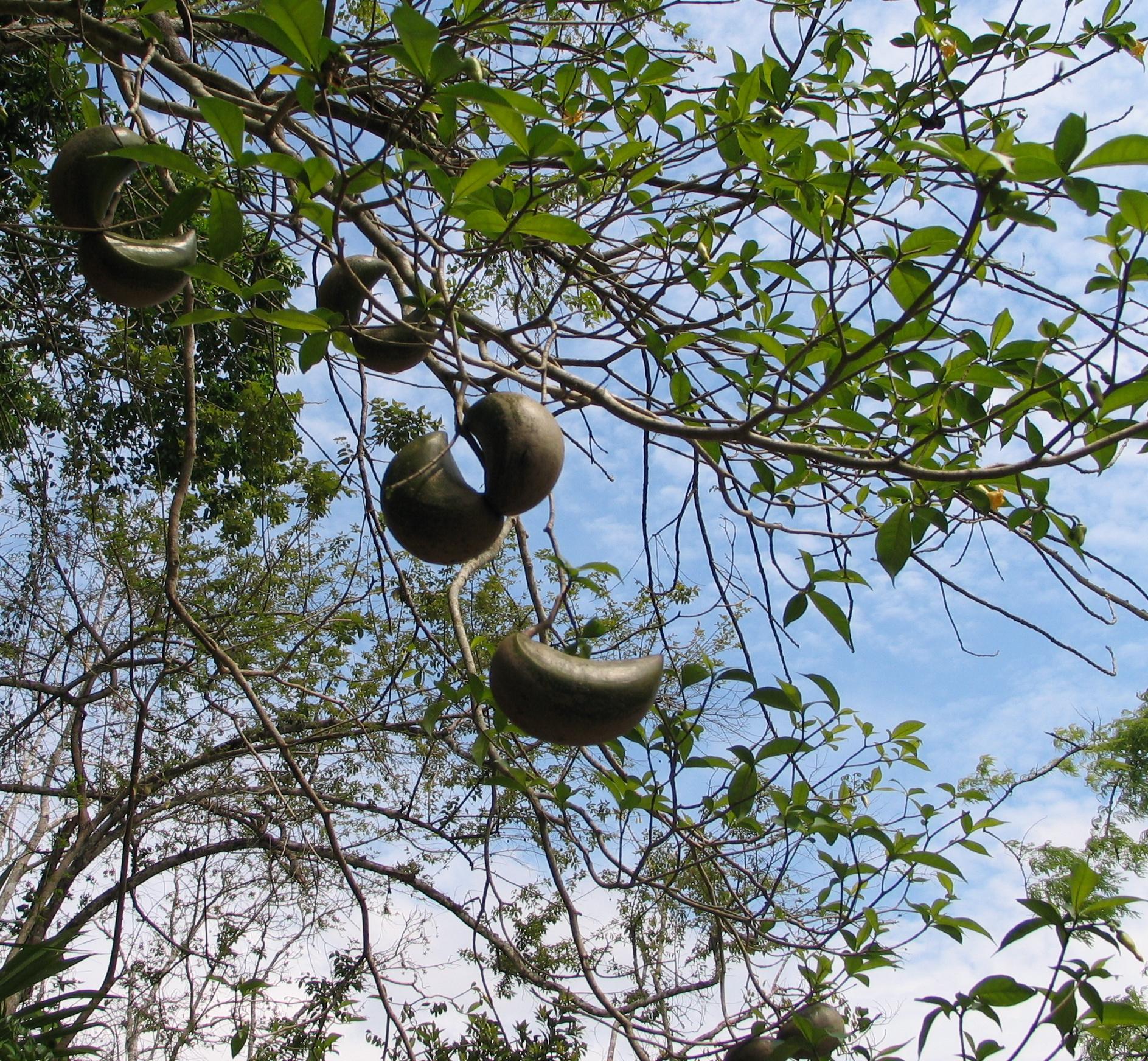 Stemmadenia donnell-smithii - Wikipedia, la enciclopedia libre