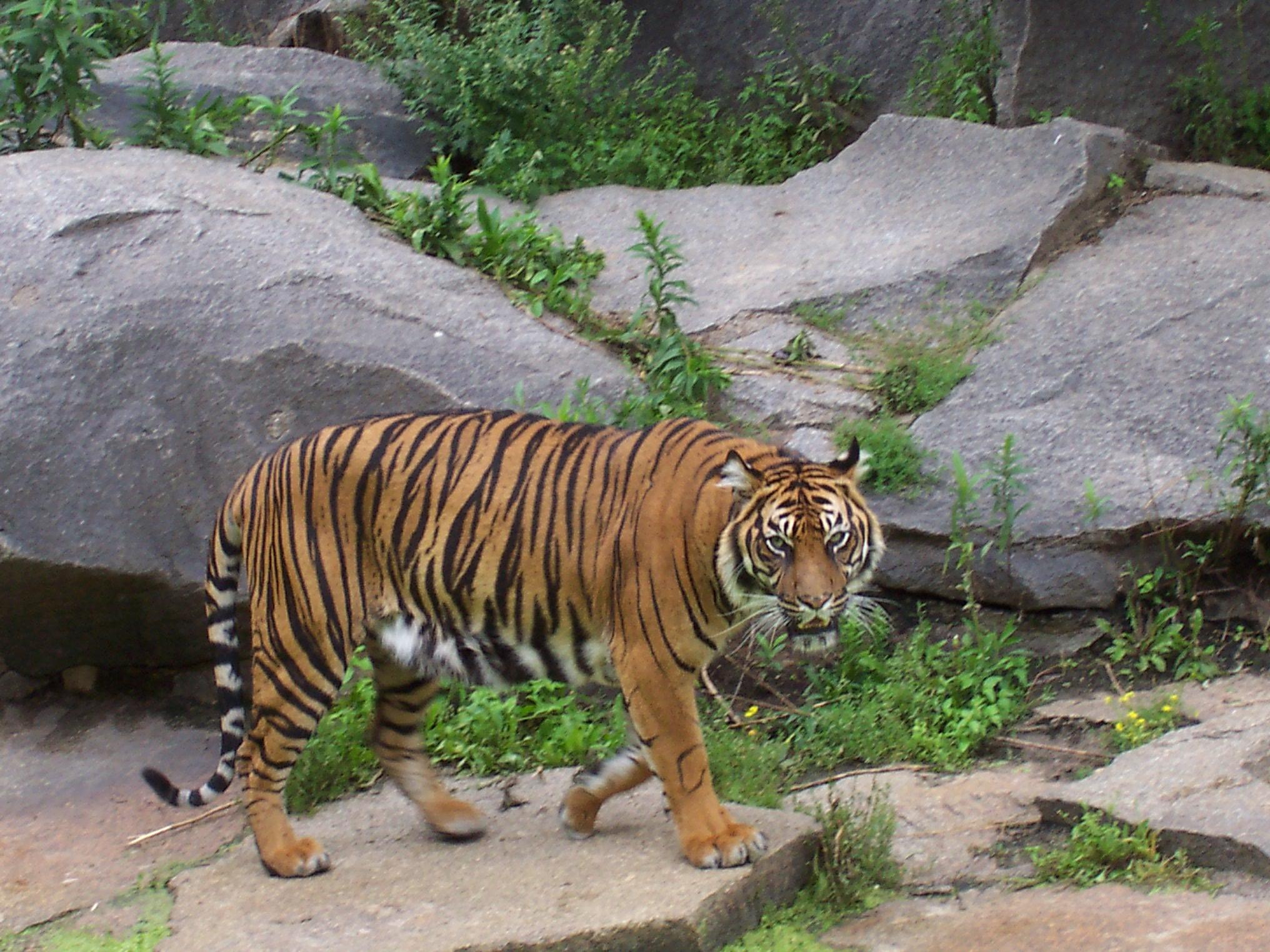 Bestand:Sumatraanse tijger (Tierpark Berlin).JPG - Wikipedia: nl.wikipedia.org/wiki/Bestand:Sumatraanse_tijger_(Tierpark_Berlin).JPG