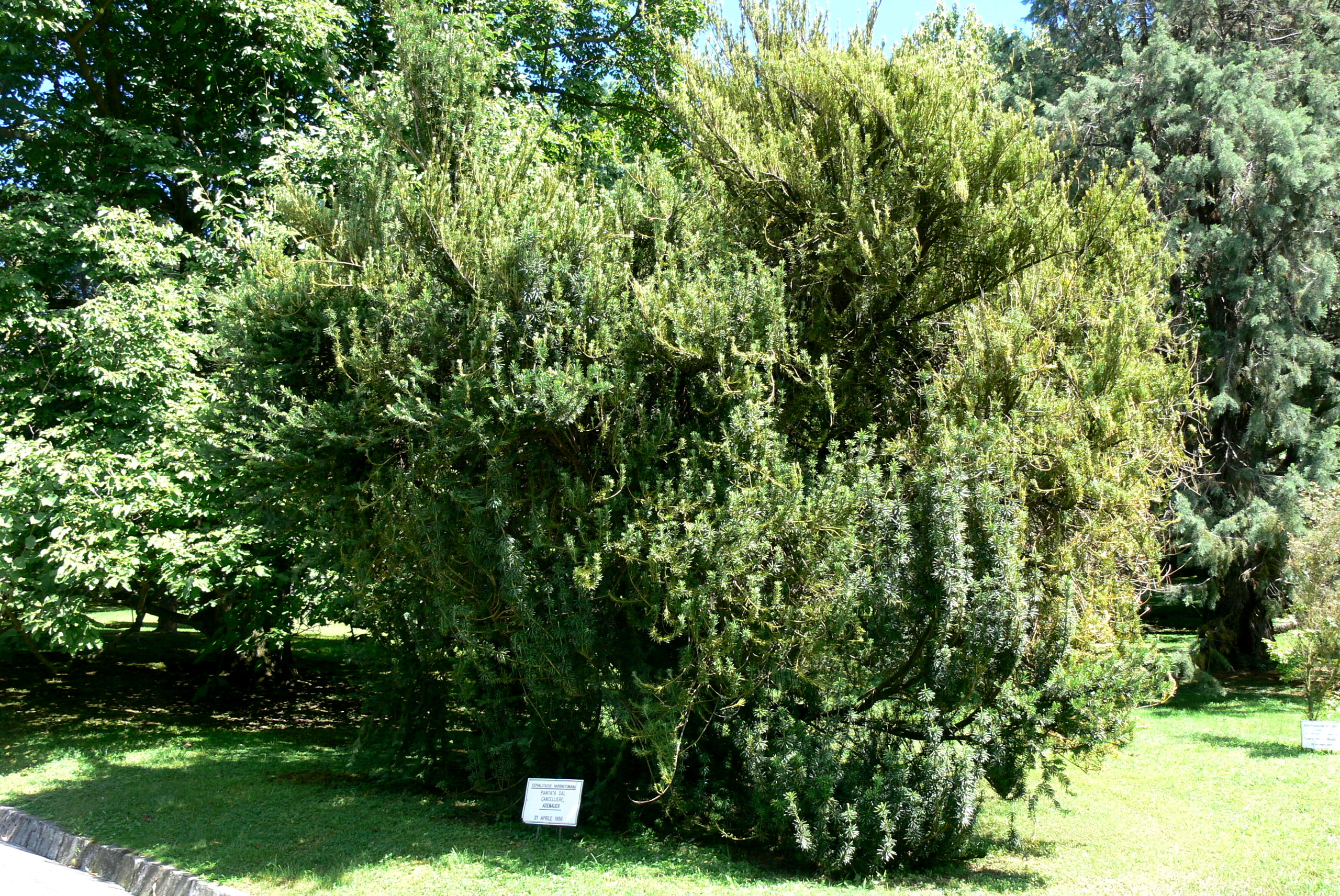 Datei villa taranto cephalotaxus wikipedia for Cephalotaxus harringtonia duke gardens