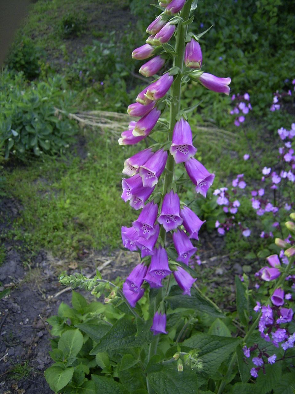 Garden Bush: Vingerhoedskruid (geslacht)