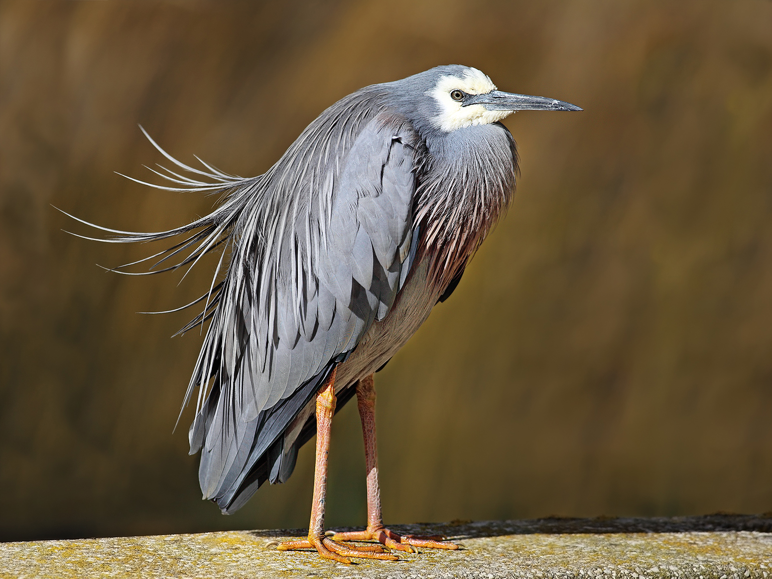 White Faced Heron Facts White-faced Heron