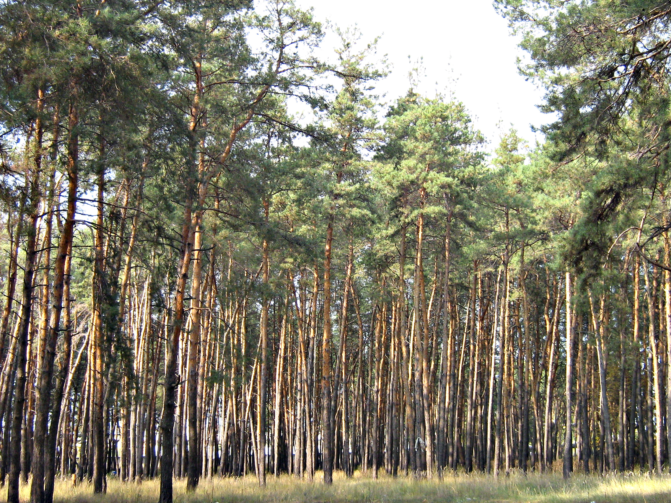 сосновый лес. фото