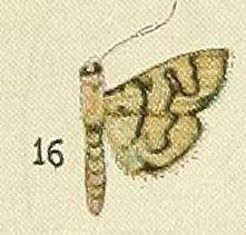 <i>Goniorhynchus</i> genus of insects