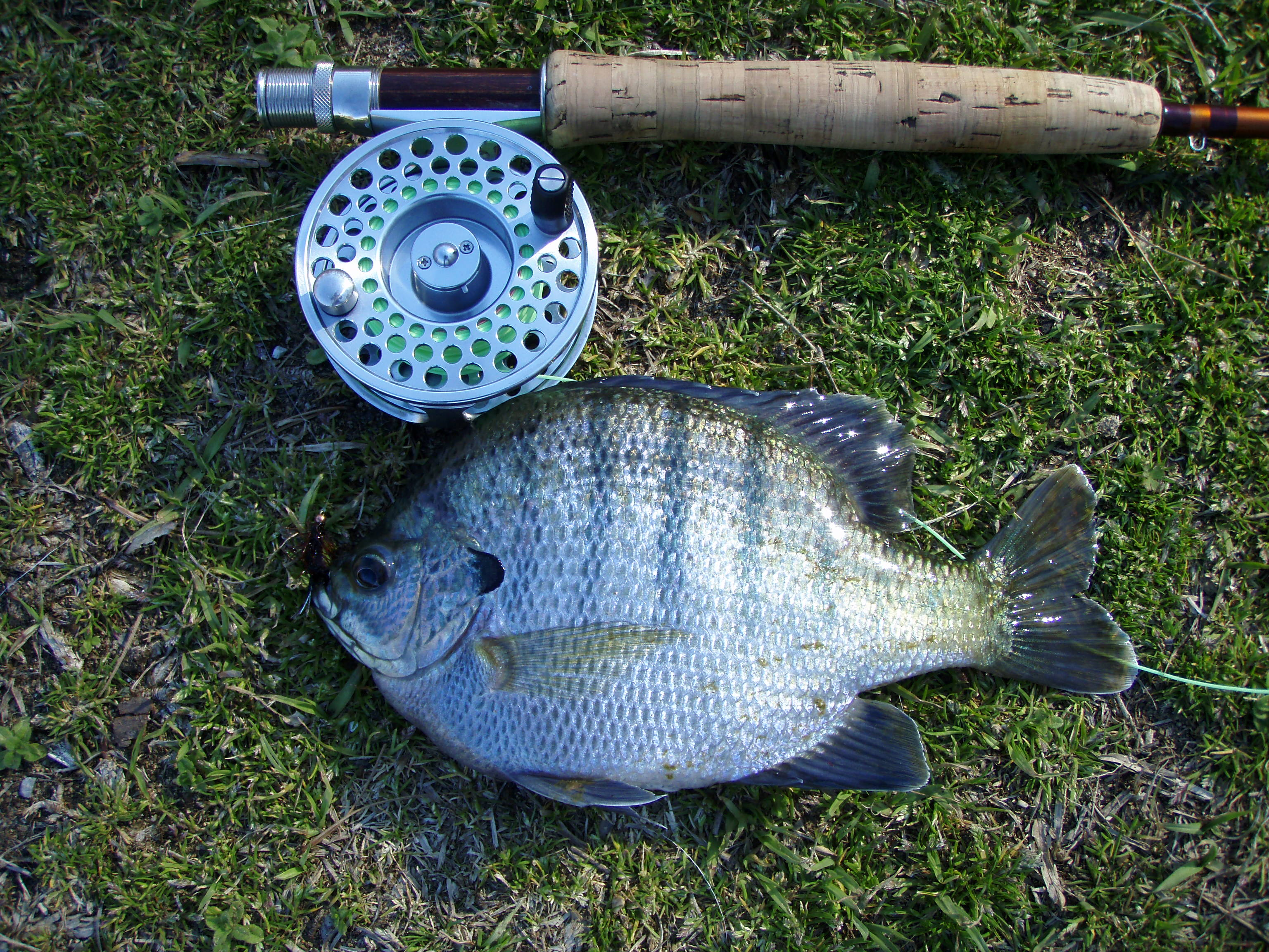 Freshwater fish in alabama - The Bluegill Lepomis Macrochirus Is A Species Of Freshwater Fish Sometimes Successful Time To Fish For Bluegills As They Aggressively