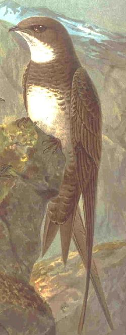Čiurliniai paukščiai