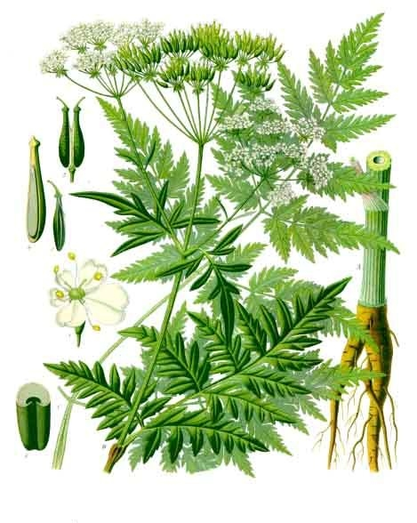 Cow parsley - wild chervil