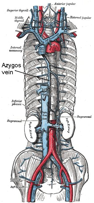 vena cava superior, vena cava inferior, vena azygos en de vertakkingen daarvan. (Vena azygos wordt aangeduid in het midden.)