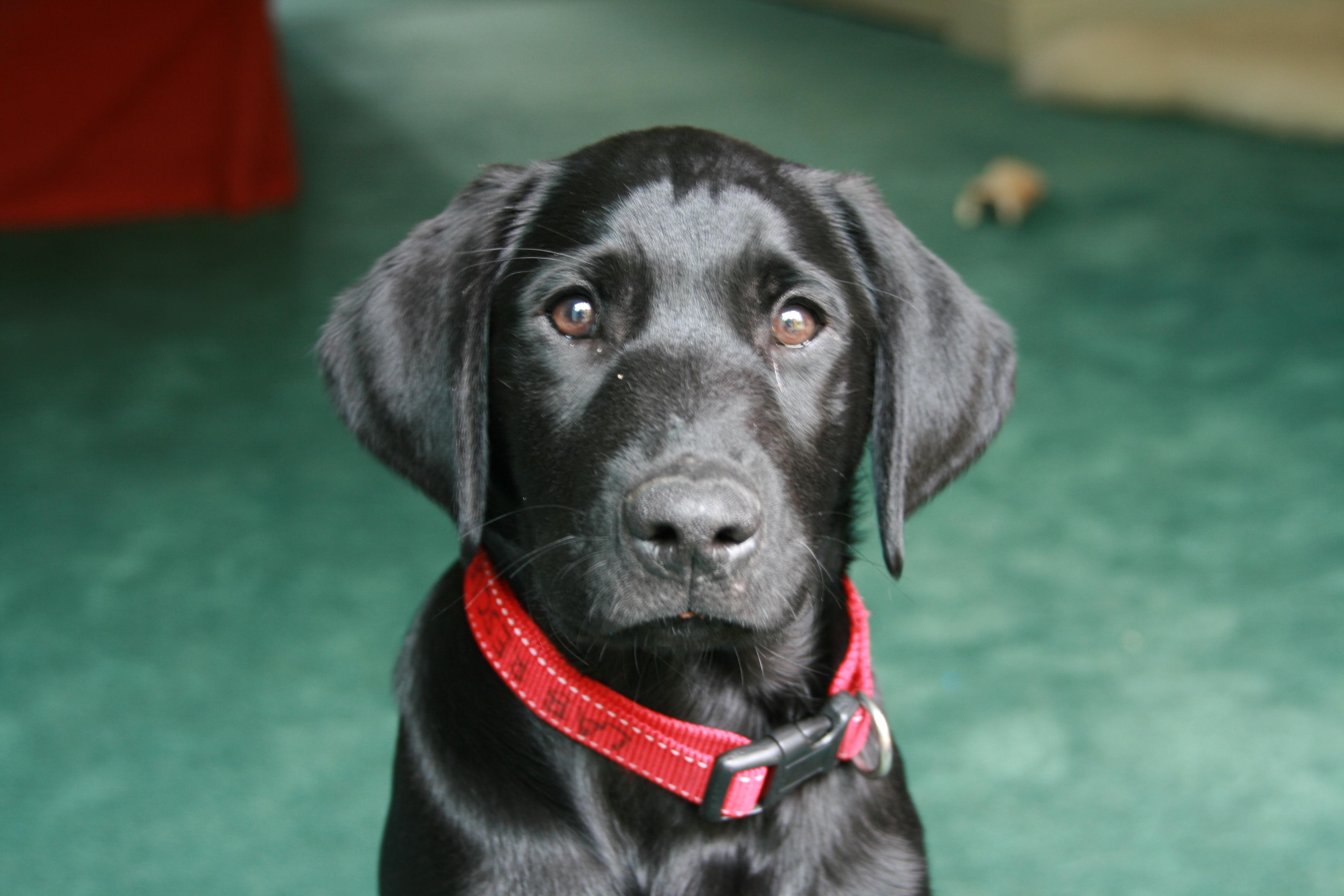 Black Lab Puppies Palm Beach County