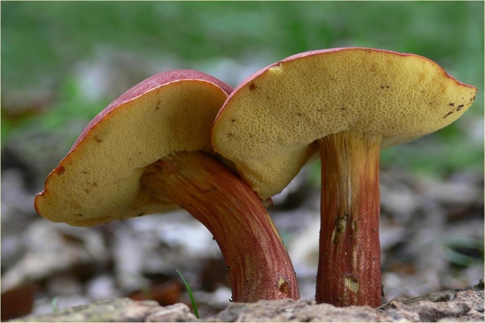 Съедобные грибы фото и название в сибири истинный мусульманин